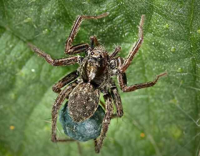 Kuvassa on rapuhämähäkki.