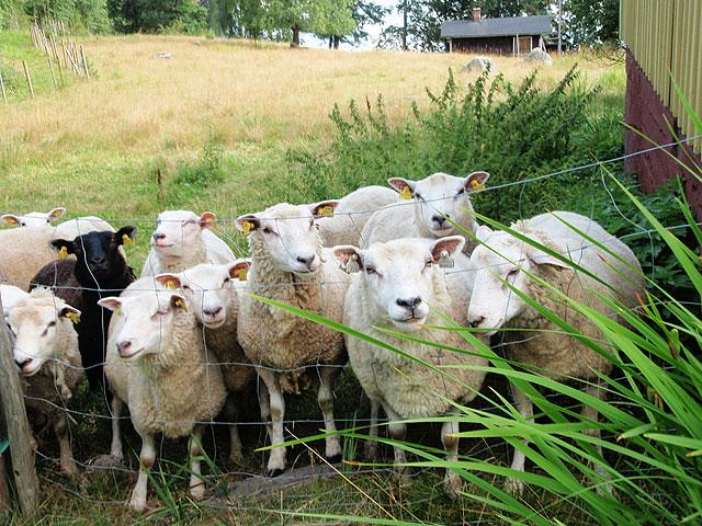 Lampaat ovat lempeitä elä'imiä, jotka viihtyvät ihmisten seurassa. (Kuva: Metsähallitus/Anne Jokinen)