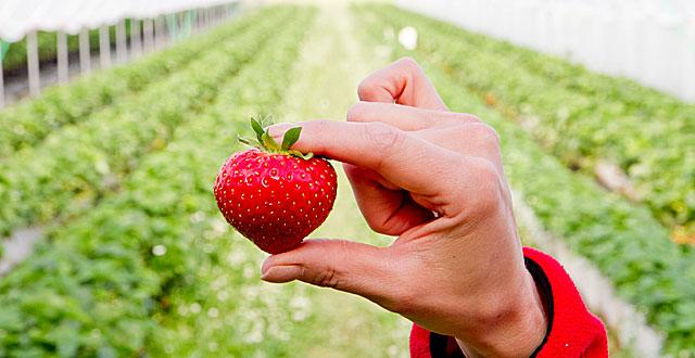 Klikkaa kuvaa, niin pääset katsomaan kuvakirjaa. Se kertoo, miten mansikka matkustaa mansikkamaalta myyntikojuun myytäväksi.