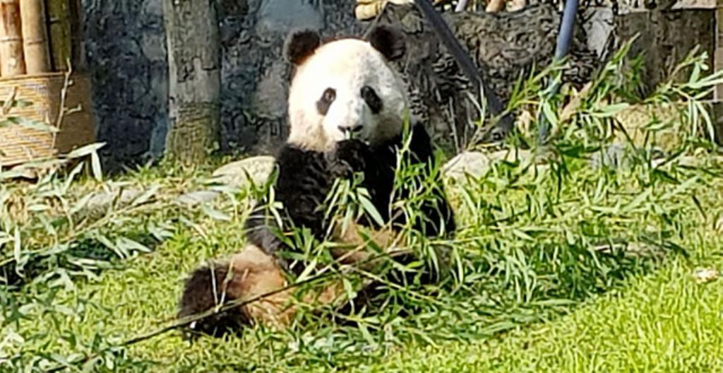 Panda, jonka nimi on Jin Bao Bao. Kuva: Jukka Salo.