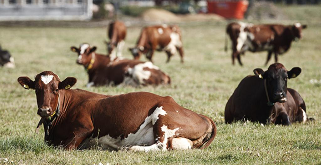 Kuvassa on lehmiä, joista saadaan maitoa.