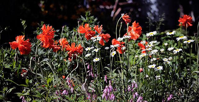 Punaisia, valkoisia ja violetteja kukkia siirtolapuutarhassa.