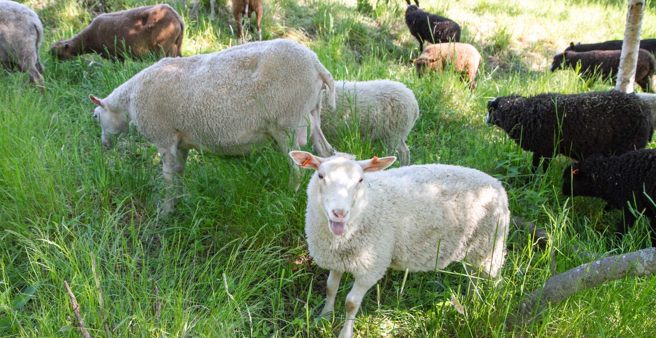 Lampaat ovat välillä Haltialan niityillä. Ne syövät siellä ruohoa ja huolehtivat, että maisema säilyy alkuperäisenä.