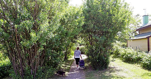 Nainen ulkoiluttaa koiraa siirtolapuutarhassa.