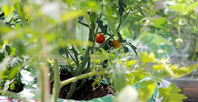 Vihreitä tomaatin lehtiä. Kaksi tomaattia on jo kypsymässä.