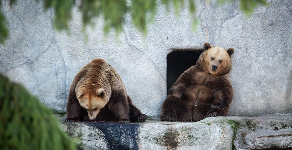 Kuvassa Korkeasaaren karhut ovat väsyneitä ja ne aikovat mennä nukkumaan pian. Nyt karhut nukkuvat jo talviunta.