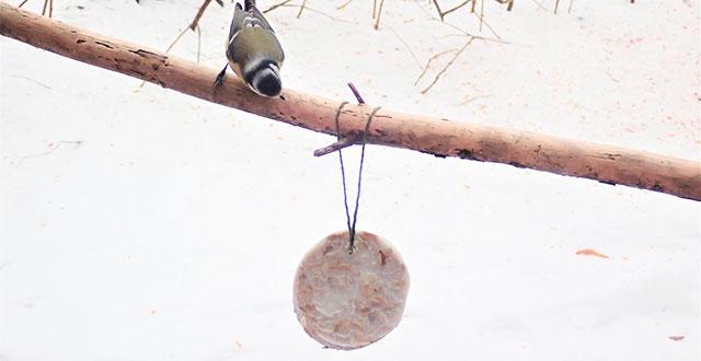 Kuvassa talitiainen katselee siemenkakkua ulkona.